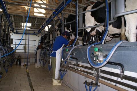 A produção leiteira da região sul de Santa Catarina é responsável por mais de 8% do total coletado por ano no estado.