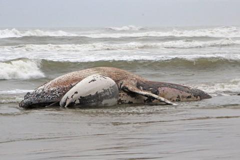 O animal foi visto encalhado na praia  -  Elvis Palma/Divulgação/Notisul