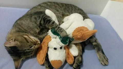 Tigrão era o gato de estimação da estudante de ciências contábeis, Sabrina Carvalho Pires Minatto, de Tubarão  -  Foto:Divulgação/Notisul