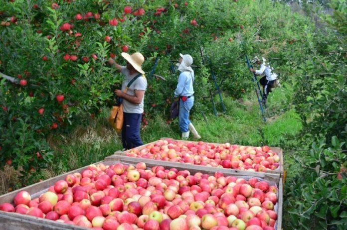 A maçã seria uma das principais culturas impactadas com a cobrança do ICMS sobre os defensivos. Foto: Aires Mariga/Epagri