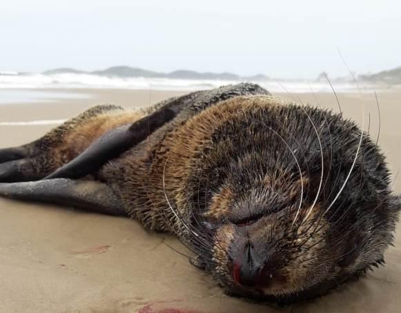#Pracegover Foto: Na imagem há um lobo-marinho morto na praia em Laguna