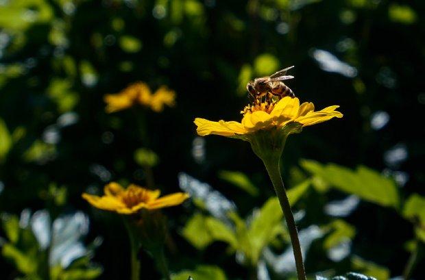 #Pracegover Foto: Na imagem há flores e uma abelha
