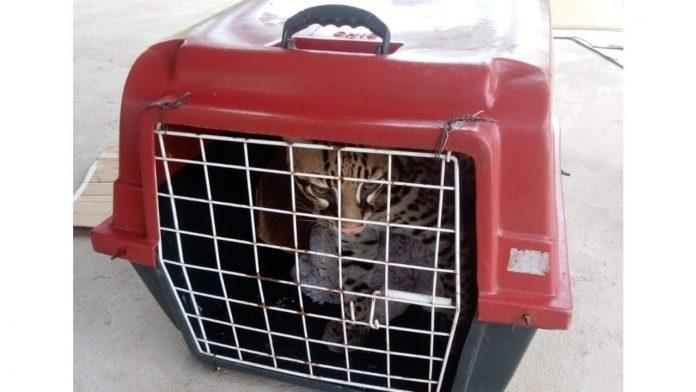#Pracegover Foto: na imagem há uma jaguatirica em uma maleta de transporte