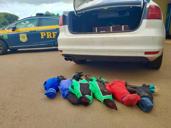 #Pracegover Na foto, a imagem dos galos após serem tirados do porta do carro