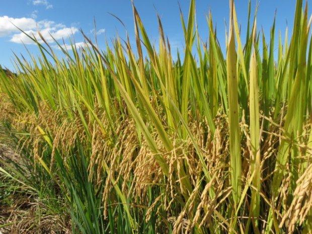 #Pracegover Foto: na imagem há uma plantação de arroz