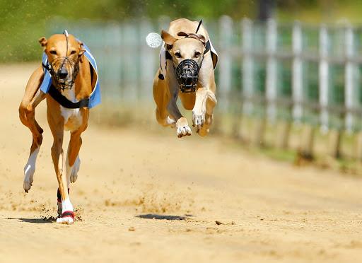 #Pracegover Foto: na imagem há dois cães com focinheira e correndo