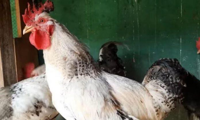 #Pracegover Na foto, o galo Chico que coloca ovos