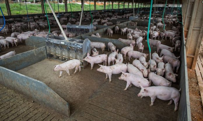 #Pracegover Foto: na imagem há muitos suínos em um cercado