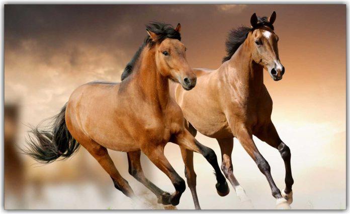 #Pracegover Foto: na imagem há dois cavalos correndo
