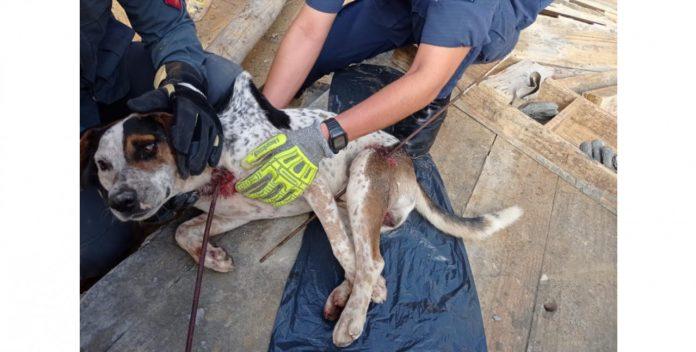 #pracegover Na foto, Bombeiros segurando o cãozinho ferido