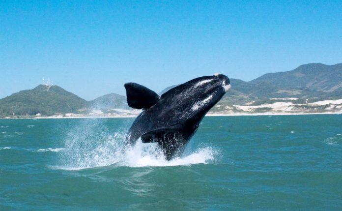 #Pracegover Na foto, baleia no litoral Sul de Santa Catarina