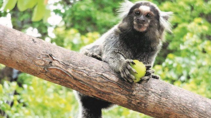 #pracegover Na foto, um macaco sobre um galho e segurando uma fruta