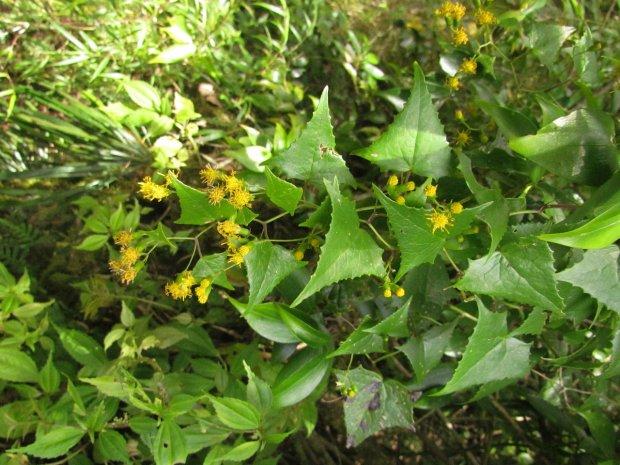 #Pracegover Na foto, folhas grandes verdes e flores pequenas amarelas