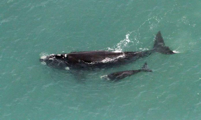 #Pracegover Na foto, baleia com um filhote