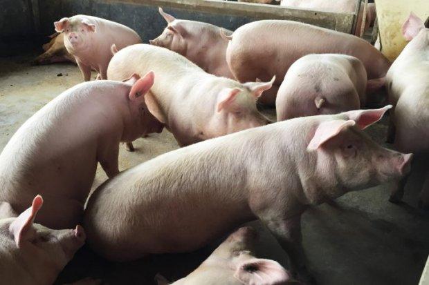 #Pracegover Foto: na imagem há vários suínos