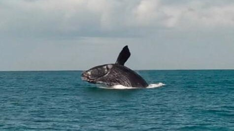 #Pracegover Na foto, registro da baleia durante um salto