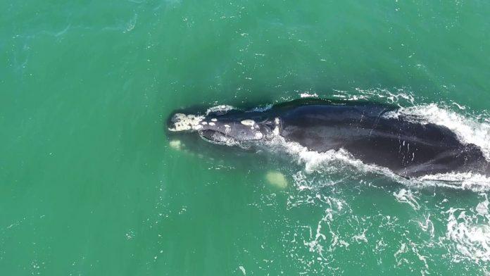 #Pracegover Na foto, vista aérea de uma baleia-franca