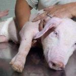 #Pracegover Na foto, pessoas cuidando de um porco após acidente