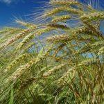 #Pracegover Na foto, plantação de trigo