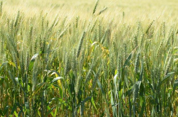 #Pracegover Foto: na imagem há uma plantação de trigo