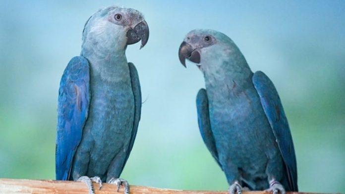 #Pracegover Foto: na imagem há duas araras azuis