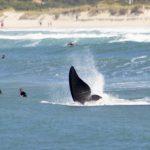 #Pracegover Na foto, baleias e surfistas dividem o mar