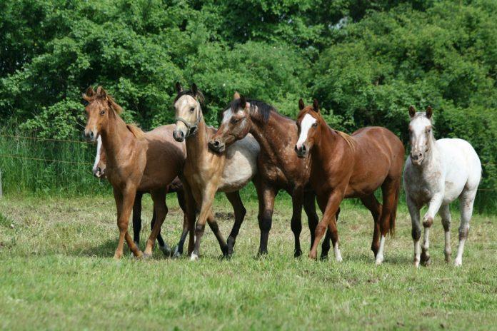 #racegover Foto: na imagem há equinos, gramado e árvores