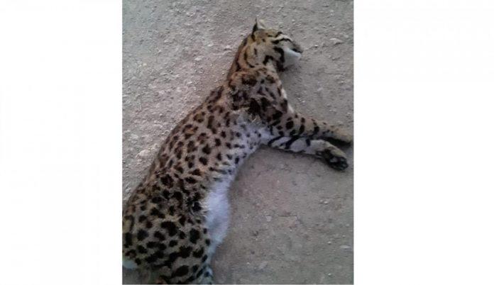 #Pracegover Na foto, gato-do-mato deitado em uma estrada