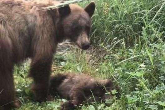 #Pracegover Na foto, mãe ursa ao lado do filhote morto