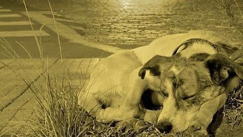 #Pracegover Na foto, cachorro deitado em via pública