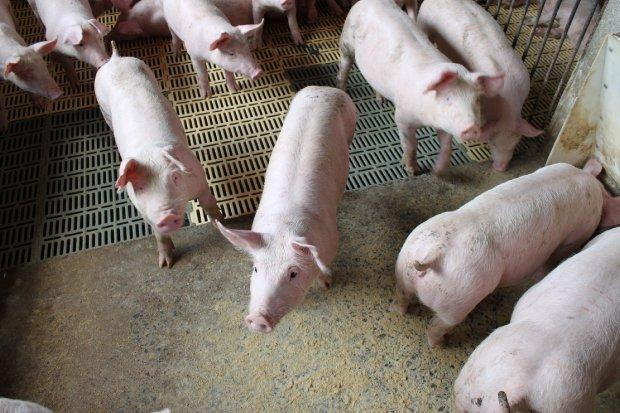#Pracegover foto: na imagem há suínos