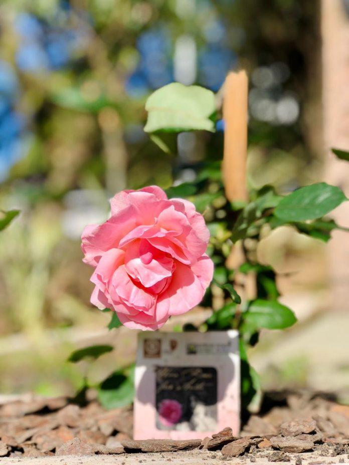 #Pracegover foto: na imagem há uma rosa