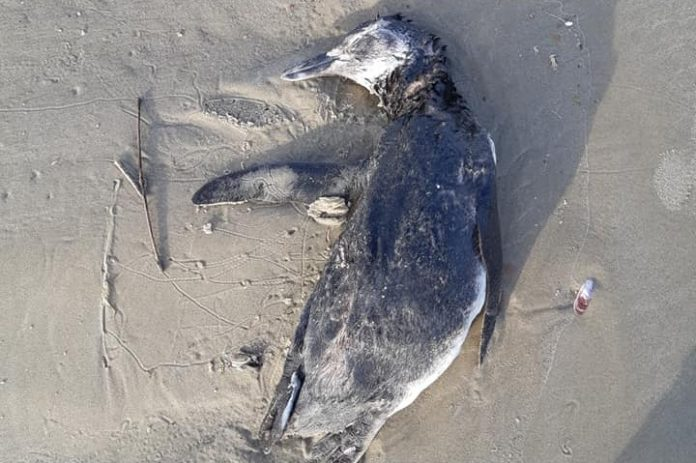 #Pracegover foto: na imagem há um pinguim e area de praia