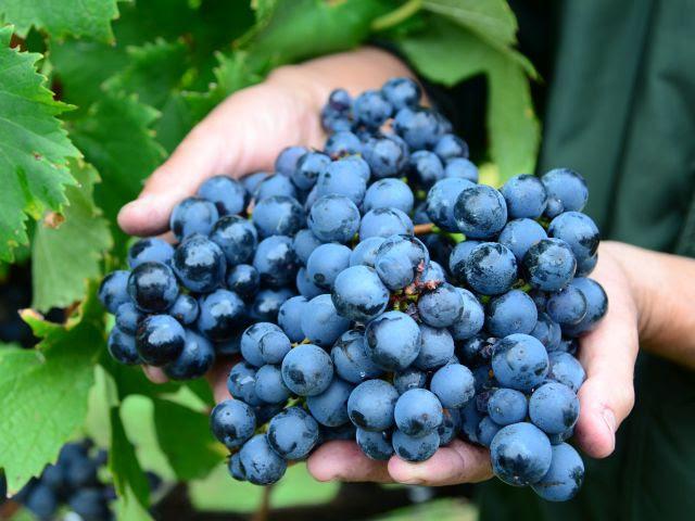 #Pracegover foto: na imagem há uvas, mãos e folhas de plantas